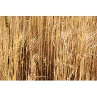 Durum wheat for export