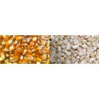 Yellow/white Corn for Sale thumbnail image