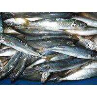 Lajang scad mackerel