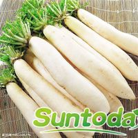 Suntoday resisant to heat radish diakon seeds