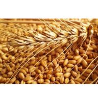 Best Price Human Consumption Dried Wheat Grain for Wholesale thumbnail image