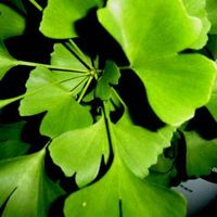 Gingko biloba extracts thumbnail image