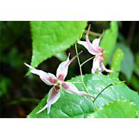 100% natural epimedium extract by HPLC with competitive price