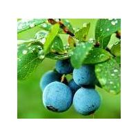 Bilberry Extract Anthocyanins