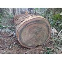 Tropical Hardwood Logs For Sale. thumbnail image