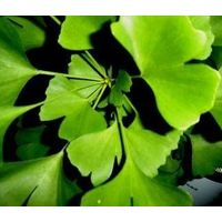 GMP/KOSHER/HALAL FACTORY Ginkgo Biloba Extract 24/6
