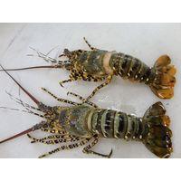 Live Tiger Lobsters, Tiger Lobsters, Large Prawns thumbnail image