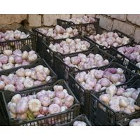 Best Fresh Natural Garlic Price - New Crop/Hot Sales From Egypt thumbnail image