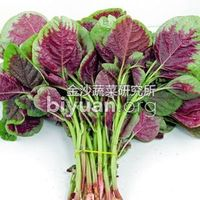 Kingshire Red/Green Round Leaf Amaranth Seed