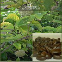 Custard Apple Fruits tree  seeds (Annona squamosa )