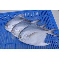 Pomfret Fish thumbnail image