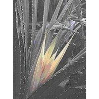 Kewra/Kewda Oil (Pandanus odoratissimus), Therapeutic Grade, 100% Pure & Natural, Orissa India
