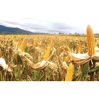 Yellow Maize For Feed Grades thumbnail image