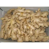 SUPPLY FRESH GINGER WITH BEST PRICE