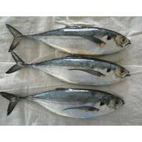 Horse Mackerel with highest quality!!!!!!