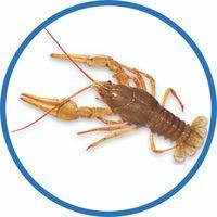 crayfish thumbnail image