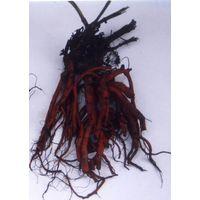 Salvia Miltiorrhiza Bunge Extract