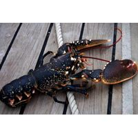 Fresh Live, Scottish Lobsters Mud Crab for Sale
