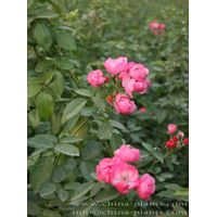 order climblers roses online