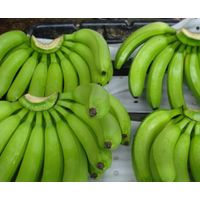 FRESH GREEN CAVENDISH BANANAS / fresh cavendish banana / FRESH BANANAS