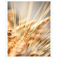 Wheat grain thumbnail image