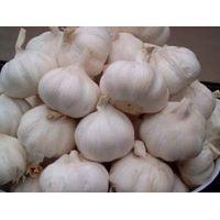 new pure white garlic thumbnail image
