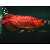 First Quality Freshwater Aquarium Fishes Available for Sale