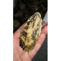 Cocktail oyster