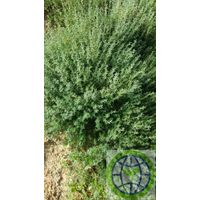 Green organic fresh hurb rosemary