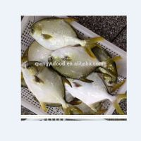wholesale new landing fresh frozen golden pomfret