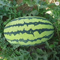 Oval shape bright red flesh striped skin watermelon seed thumbnail image