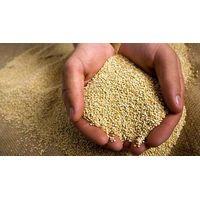 kiwicha seeds bulk organic powder (Amaranthus caudatus)