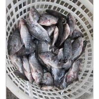Hight Quality Frozen Tilapia Whole Round