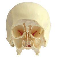 Coronal Section of Human Skull Specimen