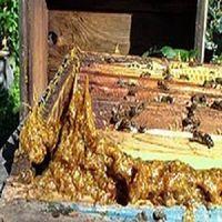 Natural bee propolis thumbnail image