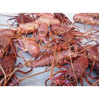 Live Spiny Lobster thumbnail image