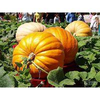 Pumpkin P.E.;Pumpkin10:1