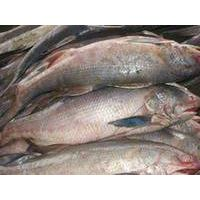 Fresh Frozen Ocean Fish King Threadfin/Kurau Fish