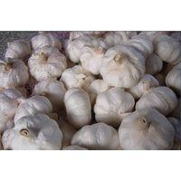 normal white fresh garlic