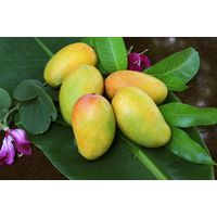 Best Quality Tropical Fruits From Vietnam - Organic Fruit Fresh Sweet Mango