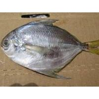 Frozen Seafood Fresh Butterfish for Sale