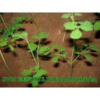 Superior Quality Moringa Tea Cut Leaf Exporters India