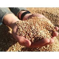 Feed wheat FOB Russia