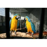 Blue & Gold Macaw for sale