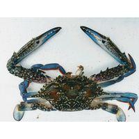 Blue swimming crabs thumbnail image