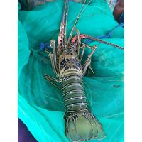 Live Lobster thumbnail image