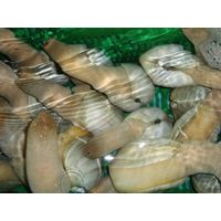 Live Geoduck (Cold or Warm Water) thumbnail image