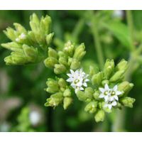 the biggest producer of   Stevia Extract in China