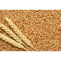 We are buyer of Wheat, Wheat Flour, Kidney Beans thumbnail image