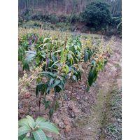 sell mango saplings thumbnail image